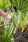 Application of a protection (Biopalm) against the palm butterfly on a doum palm (Chamaerops humilis).