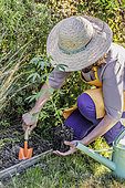 Woman planting a spider plant (Cleome sp) in a bed.