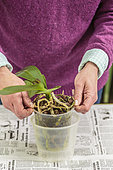 Woman repotting a Phalaenopsis. Repotting a Phalaenopsis. Technique in 7 steps. 1: choose the new pot, wider if necessary.