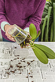 Woman repotting a Phalaenopsis. Repotting a Phalaenopsis. Technique in 7 steps.