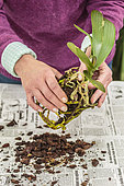 Woman repotting a Phalaenopsis. Repotting a Phalaenopsis. Technique in 7 steps. 3: Remove substrate and clean.