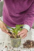 Woman repotting a Phalaenopsis. Repotting a Phalaenopsis. Technique in 7 steps. 4: Replenish with fresh substrate.