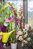 Woman caring for a blooming Orchid indoors and checking the need for watering.