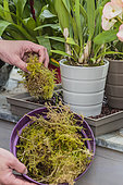 Moss is added to the foot of Orchids to maintain hygrometry and camouflage the saucer.