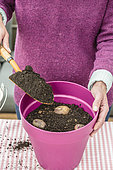 Planting Potato in pots
