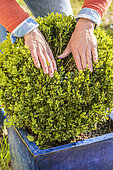Hand spreading a clump of Boxwood in search of box moth caterpillars, in pot.