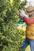 Man suspending a pheromone trap in a Boxwood tree against the Boxwood Moth