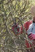 Pruning of a Spanish Broom (Spartium junceum) storm-damaged shrub