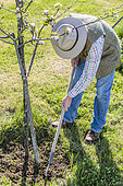 Man hoeing the foot of an apple tree in April: Fighting weed competition at the foot of fruit trees.