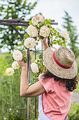 Woman palliating a Rose climbing on a pergola.
