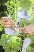 Woman attaching a vine stem to a support, in June.