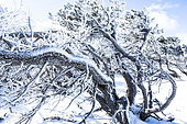 Frozen top pines, Mont Ventoux, Vaucluse, France