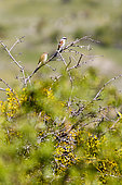 Red-backed Shrike (Lanius collurio) pair on a branch, Blieux, Verdon, France