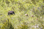 Eurasian wild boar (Sus scrofa), female and its young, Blieux, Verdon, France