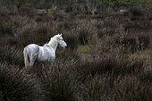 Camargue horse in the marshes, Marais du Vigueirat, Camargue, France