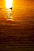Great Crested Grebe (Podiceps cristatus) on water at sunset, Camargue, France