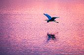 Great Egret (Ardea alba) in flight, Camargue, France