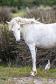Cattle egret (Bubulcus ibis) and Camargue breed horse, Camargue, France