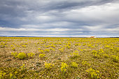 Plaine de la Crau (National Nature Reserve), sheepfold and sheep, France