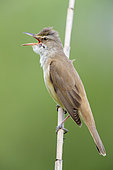 Great Reed Warbler (Acrocephalus arundinaceus), side view of an adult singing from a reed, Campania, Italy