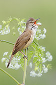 Great Reed Warbler (Acrocephalus arundinaceus), side view of an adult singing from a stem, Campania, Italy