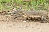 Nile Monitor (Varanus niloticus), close-up of an adult walking on the ground, Mpumalanga, South Africa