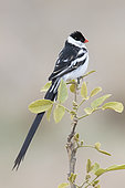 Pin-tailed Whydah (Vidua macroura), adult male in almost complete breeding plumage perched on a branch, Mpumalanga, South Africa