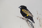 Yellow Bishop (Euplectes capensis), adult male in breeding plumage perched on a branch, Western Cape, South Africa