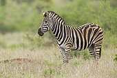 Burchell's Zebra (Equus quagga burchellii), side view of an adult female standing on the ground, Mpumalanga, South Africa
