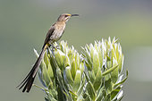 Cape Sugarbird (Promerops cafer), adult male perched on a flower, Western Cape, South Africa