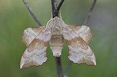 Aspen hawk-moth (Laothoe amurensis, imago male, Omsk, Russia