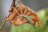 Lobster moth (Stauropus fagi), caterpillar 6th stage, Treillières, Loire Atlantique, France.