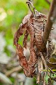 Eyed hawk-moth (Smerinthus ocellatus ocellatus) mating, Treillières, Loire Atlantique, France