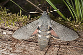 Bat hawkmoth (Hyles vespertilio), on wood, Switzerland