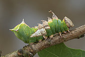 Tawny Prominent (Harpyia milhauseri), caterpillar, Fontaine la Mallet, Normandy, France