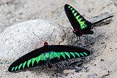 Rajah Brooke's Birdwing (Trogonoptera brookiana) feeding on ground, Tapah, Malaysia