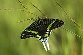 Urania (Urania leilus), imago, St Georges, French Guyana