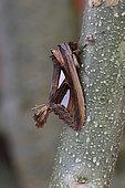Tarsolepis (Tarsolepis sommeri), on a branch, Kinabalu NP, Borneo, Malaisie