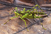 Katydid (Championica montana), female, Iquitos, Peru