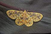 Geometer moth (Microplutodes hilaropa), imago, Kinabalu NP, Bornéo, Malaisie