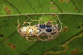 Unknown Chrysalis in its net, Panama