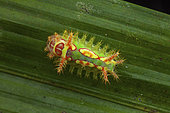 Talima (Talima sp), Talima beckeri? caterpillar, Panama