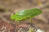Leaf Katytid (Steirodon sp), Iquitos, Peru