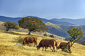 The Cham des Bondons in Lozere before a storm. Cows of Limousin breed graze with their calves, Cevennes National Park, Lozere, France