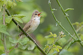 Reed Warbler (Acrocephalus scirpaceus), adult singing from a stem, Campania, Italy