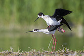 Black-winged Stilt (Himantopus himantopus), a pair mating in a pond, Campania, Italy