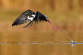Black-winged Stilt (Himantopus himantopus), side view of an adult male in flight, Campania, Italy