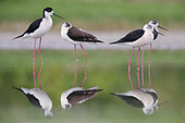 Black-winged Stilt (Himantopus himantopus), a small flock resting in the water, Campania, Italy