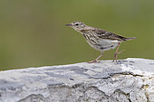 Tree Pipit (Anthus trivialis), side view of an adult perched on a wall, Abruzzo, Italy