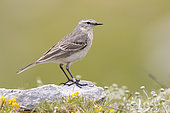 Water Pipit (Anthus spinoletta), side view of an adult standing on a rock, Abruzzo, Italy